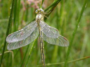 gomphus-pulchellus-credit-photo-cen-5962